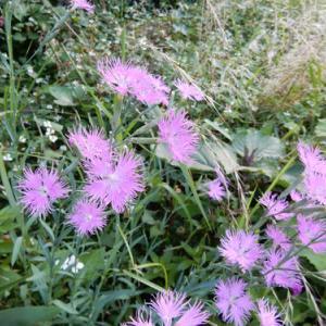 撫子の花とつれづれに