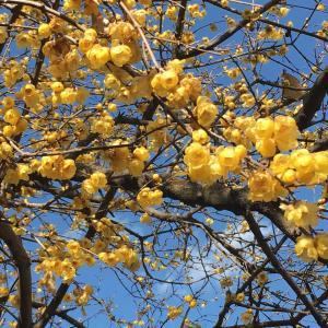 蝋梅の花とピアス