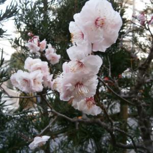 八重咲きの梅とわたし