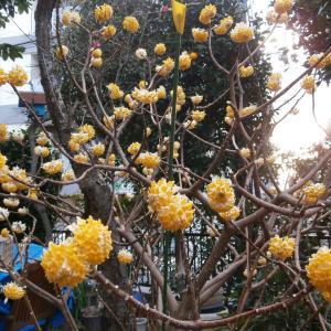 三椏の花とつれづれに