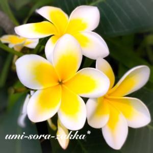 花博記念公園 咲くやこの花館のプルメリア【Instagram post】