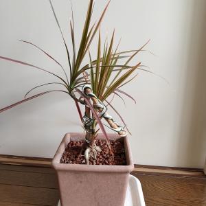 ドラセナ・トリコロール、脇芽の成長が早い