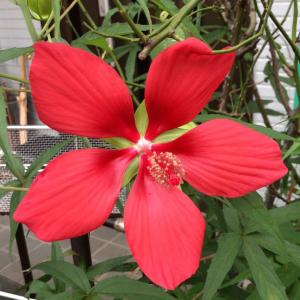 紅葉葵(モミジアオイ)開花