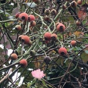 秋に実をつける木を観察する①