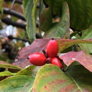 秋に実を付ける木を観察する②