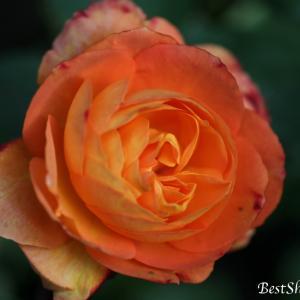 【ガーデニング】アンネのバラ