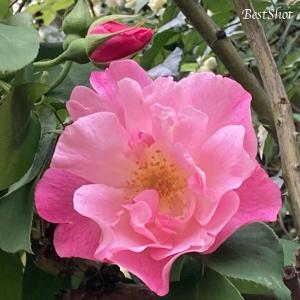 【バラが咲きだしました】ミッシェルメイアン、モッコウバラ、カクテル、クリスマスローズ