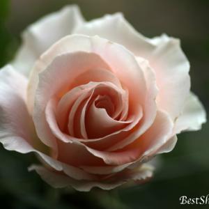 【バラが咲きだしました】ロココ