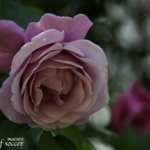 【バラが咲きだしました】ブルームーン、アイスバーグ