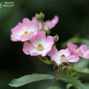 【バラが咲きだしました】バレリーナ