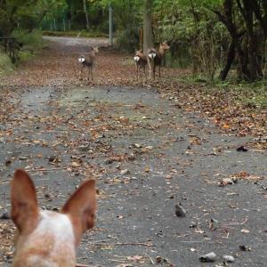 犬も人も歩けば鹿に、あたる・・・