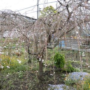 枝垂桜が咲きました。