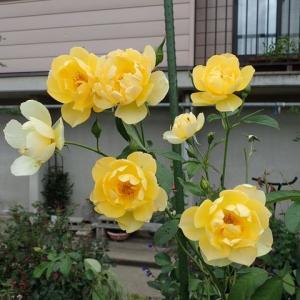 台風前日の花たち(キレイなうちに見てね)