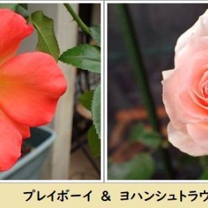 魅惑のバラ & 里山保全クラブin高床山