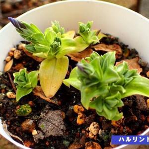【いもり池の花々】刊行! & ハルリンドウが咲きそう