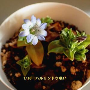 ハルリンドウに次いで、H先生の雪割草も咲き出した・・・