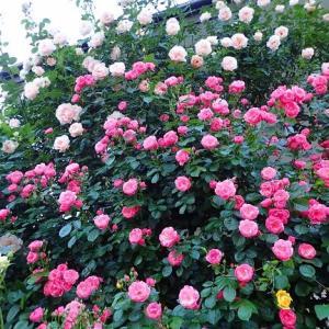 暖冬・・・バラの芽まで動き出してきた!