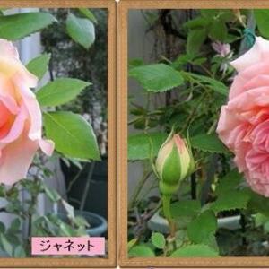 ロココの庭から消えていったバラたち①
