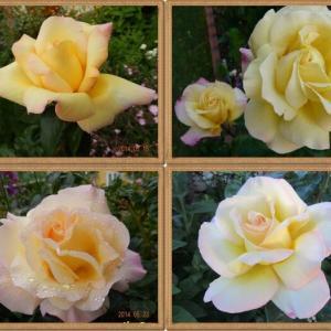 ロココの庭から消えていったバラたち②