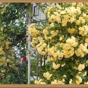 ロココの庭から消えていったバラたち③