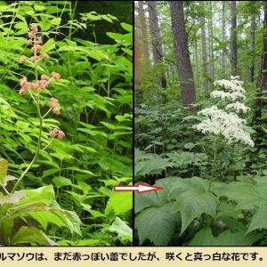 6月25日「南葉林道」の花、今年は季節が早い!