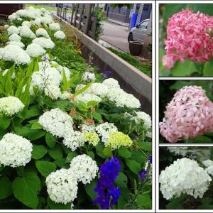 庭便り:アナベルの咲く頃