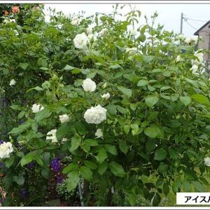 庭便り:梅雨時は白と緑がいい!&眠かったアゲハチョウ(笑)