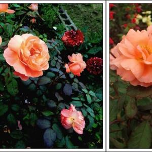 夏バラが見頃 & 空き地ガーデン草刈り