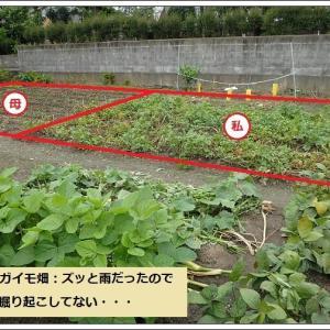 中々収穫出来ないジャガイモ & ミョウガの季節