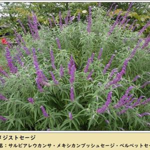 庭便り: サルビア・レウカンサ & 山野草メハジキ