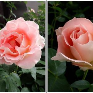 春庭便り5月 ② ロココさまも開花 ❤