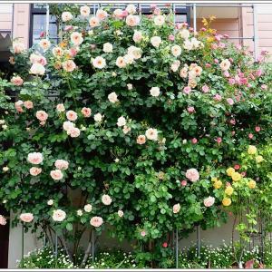 春庭便り5月 ③ 【ロココの庭】開園です(笑)