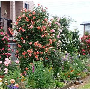 春庭便り5月 ④  雨ばかりでめげてしまいます。