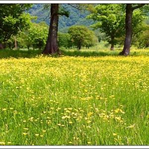 笹ヶ峰高原:一面のキンポウゲ!&花散策