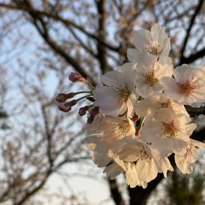 桜を探しにドライブ