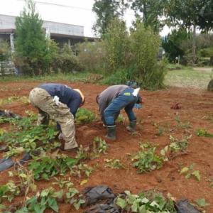10月18日(日) むささびランドで芋掘り