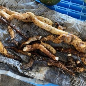 続、自然薯掘りは辛いよ…