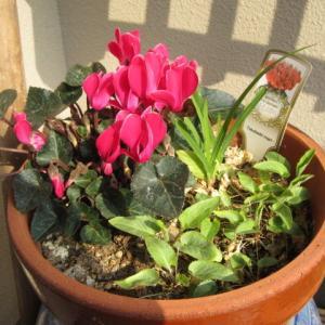 【ガーデニング】 去年のガーデンシクラメンが、また咲きました。
