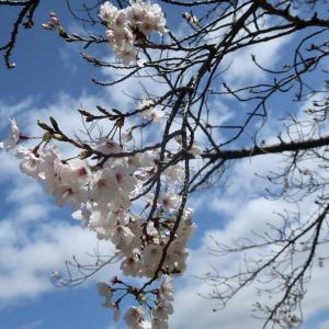桜三昧、楽しんでます♪