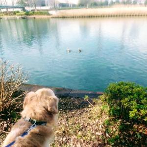 鴨に遊ばれる