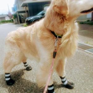 サンタ、靴を履く!
