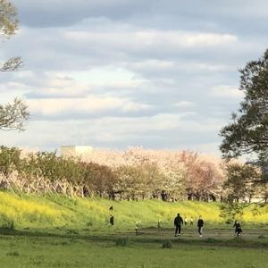 愛犬と共に「桂川 菜の花と桜」