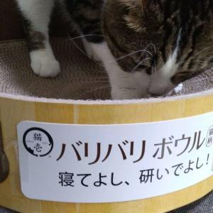 【2019年9月1日】本日、うちの愛猫たいちが2歳になりました【誕生日おめでとう】