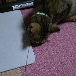 我が家のお猫様、とあるアイテムにドハマリする