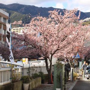 熱海・糸川桜が満開!?