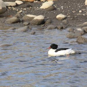 カワウとカワアイサ、いずれも釣魚を食す水鳥だが、なぜ河口に…??