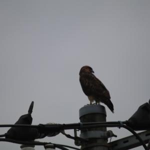 太閤橋の近辺で、猛禽のノスリを見かけた…!!