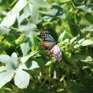 今日は蝶々しか撮れなかったーでも、アサギマダラ…!!