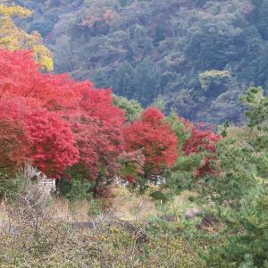 紅葉の丹沢湖に、白鳥がいた…!!