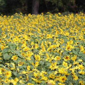 満開のヒマワリと秋の花…!?